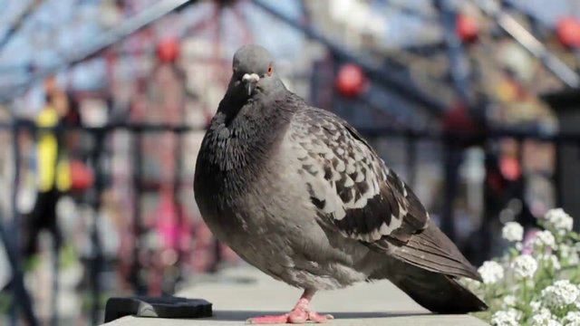 Pigeon Near Playground thumbnail