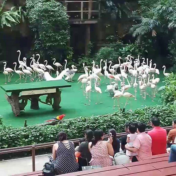 Flamingo Show, Singapore Zoo
