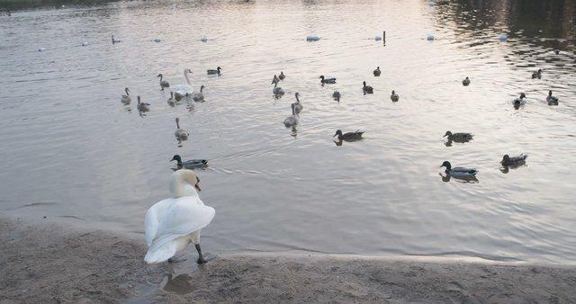 Swan Stretching Wings at Salote Lake  thumbnail