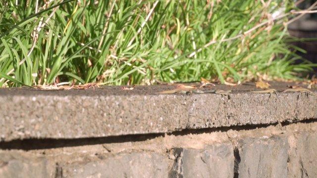 Geckos Crawling On A Wall  thumbnail