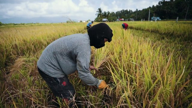 Workers Harvesting Rice Field thumbnail