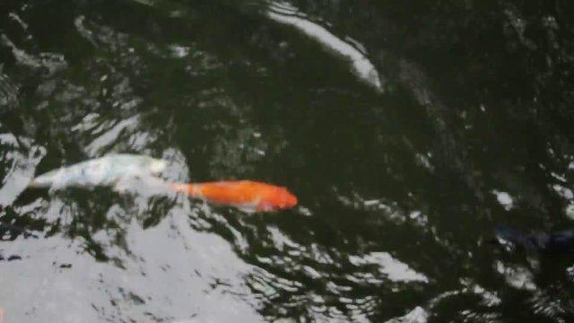 Swimming Goldfish thumbnail