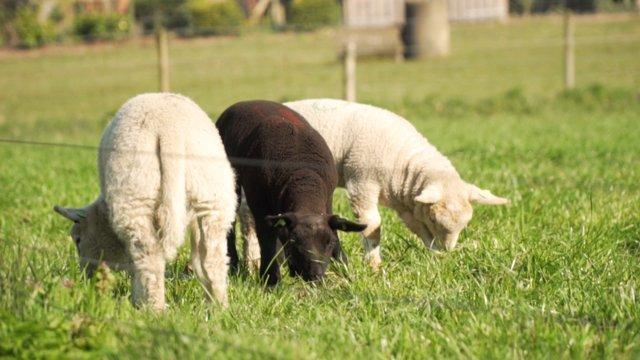 Little Lambs Eating Grass thumbnail