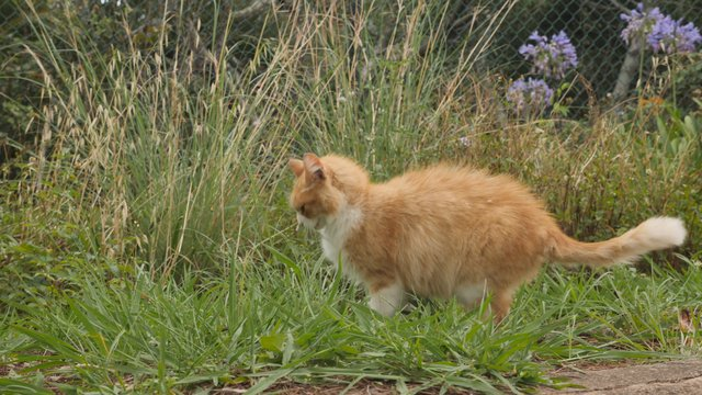 Cat Eating Grass in the Garden thumbnail