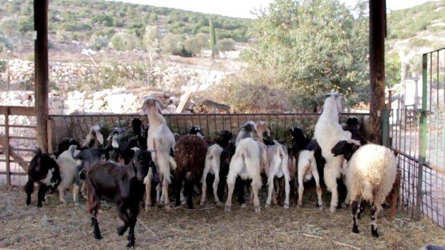 Eating Group of Goats thumbnail