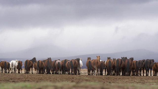 Herd of Wild Horses thumbnail