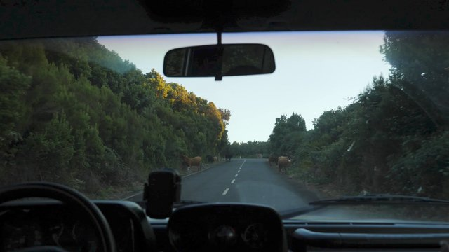 Car Drives Near Cows on the Roadside thumbnail