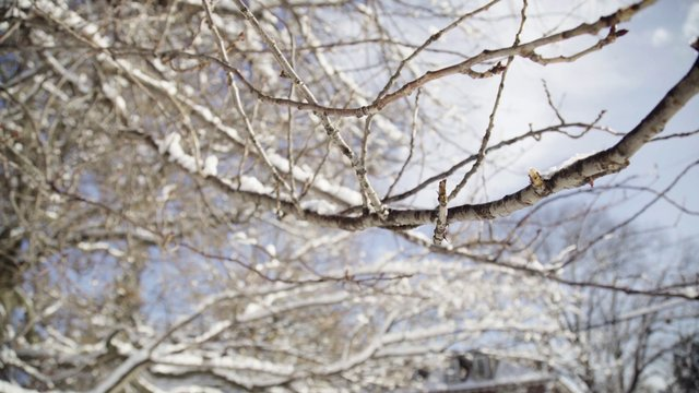 Snow on a Tree Branch thumbnail