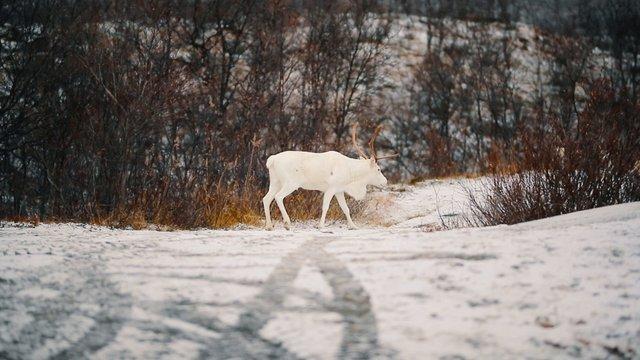 Albino Reindeer thumbnail