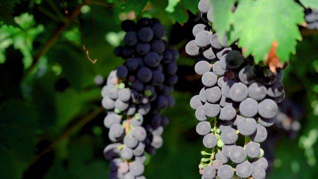 Italy Purple Grapes thumbnail