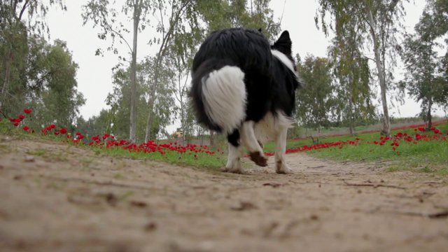 Dog Walking and Red Flowers thumbnail