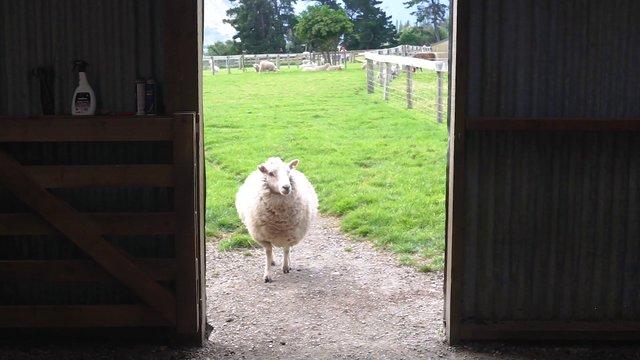 Two Sheep At The Farm thumbnail