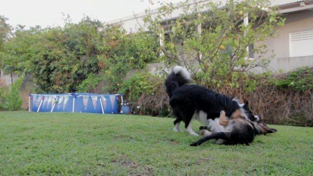 2 Dogs Playing in Backyard thumbnail