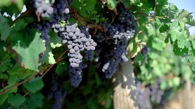 Italy Vineyard thumbnail